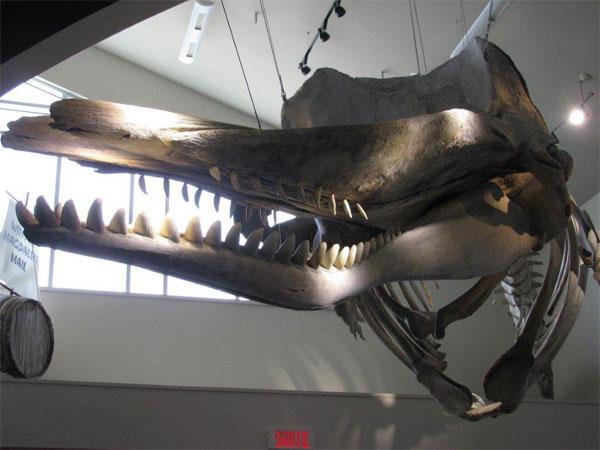 Musée de la mer - squelette de cachalot